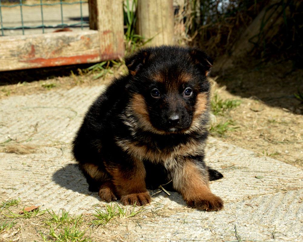 cucciolo maschio a 30 giorni